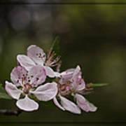 Flowering Crabapple Art Print