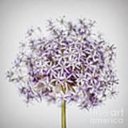 Flowering Onion Flower Art Print
