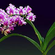 Flowers - Aerides Lawrenciae X Odorata Orchid Art Print