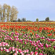 Flowers Blooming In Tulip Field In Springtime Art Print