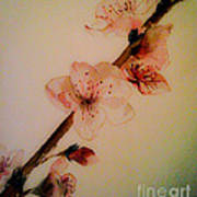 Flowers - Cherry Blossoms - Blooms Art Print