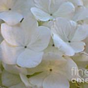 Snowball Flowers Art Print