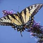 Fluted Swallowtail Art Print