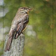 Flycatcher In Southern Missouri Art Print