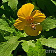 Flying Bee And Wood Poppy Art Print
