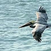 Flying Brown Pelican  Art Print