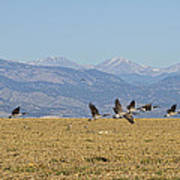 Flying Canadian Geese Colorado Rocky Mountains 1 Art Print