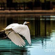 Flying Egret Print by Robert Bales