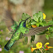 Flying Green Violetear Art Print