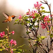 Flying Hummingbird Sipping Nectar Art Print