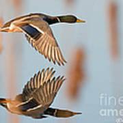 Skimming The Pond Through Cattails Art Print