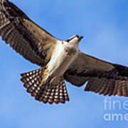 Flying Osprey Art Print