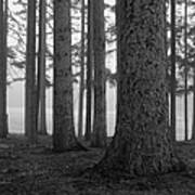 Fog Within The Pines  Bw Art Print