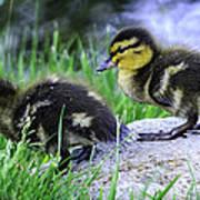 Follow The Leader Ducky Style Art Print