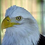 Fontana Eagle Portrait 4 Art Print