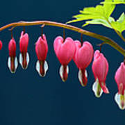 Bleeding Hearts For Your Love Art Print