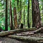 Forest Of Cathedral Grove Collection 2 Art Print