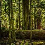 Forest Of Cathedral Grove Collection 3 Art Print