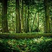 Forest Of Cathedral Grove Collection 7 Art Print