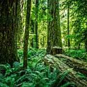 Forest Of Cathedral Grove Collection 8 Art Print