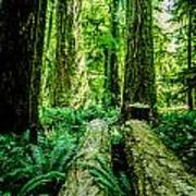 Forest Of Cathedral Grove Collection 9 Art Print
