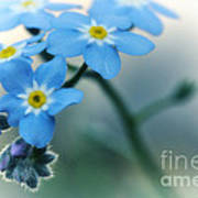 Forget Me Not Art Print by Simona Ghidini