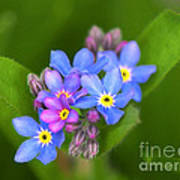 Forget-me-not Stylized Art Print
