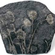 Fossil Crinoids Art Print