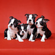 Four Boston Terrier Puppies On Red Art Print