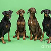 Four Dobermans Sitting Down Art Print