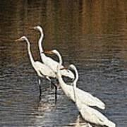 Four Egrets Fishing Art Print