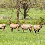 Four Elk Art Print