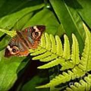 Four Eye Butterfly Art Print