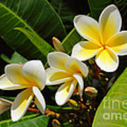 Four Summer Frangipanis Art Print