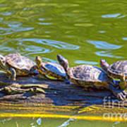 Four Turtles Art Print