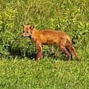 Fox In The Park Art Print