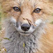 Fox Kit In The Grass Art Print
