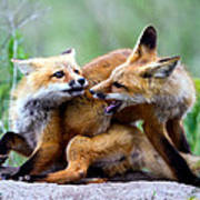 Fox Kits At Play - An Exercise In Dominance Art Print by Merle Ann Loman