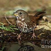 Fox Sparrow Drinking Art Print