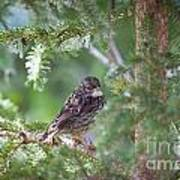 Fox Sparrow Juvenile Art Print by Chris Heitstuman