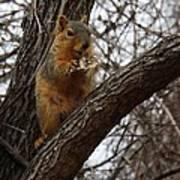 Fox Squirrel 1 Art Print