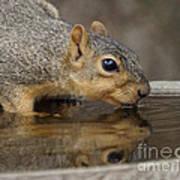 Fox Squirrel Art Print