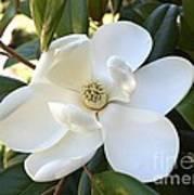 Fragrant Magnolia Art Print