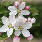 Framed Apple Blossom Art Print