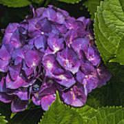 Framed Purple Blue Hydrangea Blossom Art Print