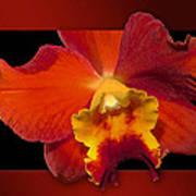 Framed Red Orchid  Art Print