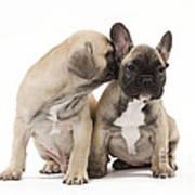 French Bulldog Puppies Art Print