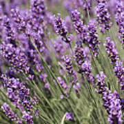 French Lavender Art Print