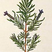 French Lavender Art Print