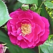 French Rose Art Print